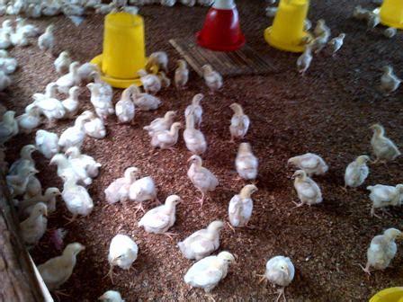 Bibit Anak Ayam Broiler budidaya ayam pedaging muhammad suriansyah