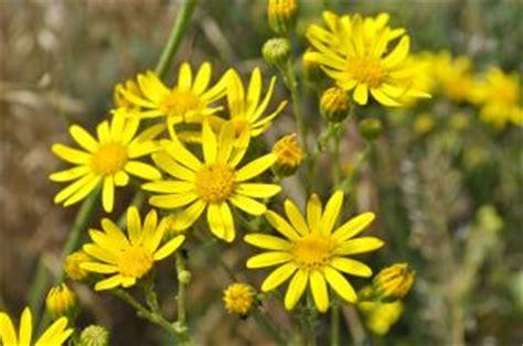 fiori gialli estivi fiori gialli estivi giallo scaricare foto gratis
