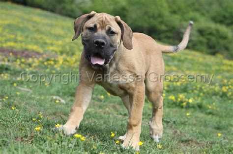 boerboel x rottweiler the gallery for gt grown corso mastiff