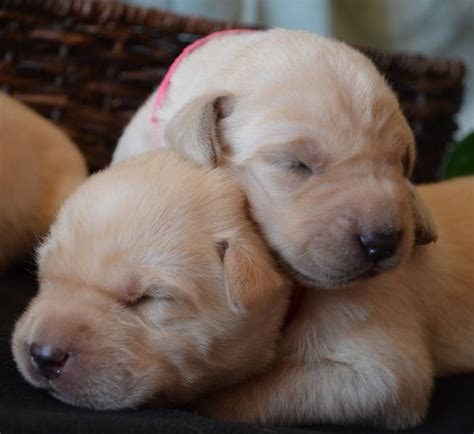 akc lab puppies for sale titan classifieds viewdetails ad