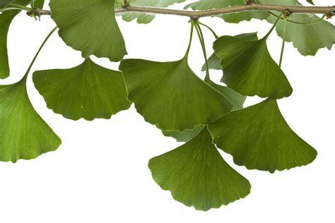Design Duvet Cover Ginkgo Leaves Photograph By Piotr Naskrecki