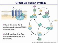 PPT - G-Protein-Coupled Receptor (GPCR): Structure and ... G Protein Coupled Receptors Gpcrs