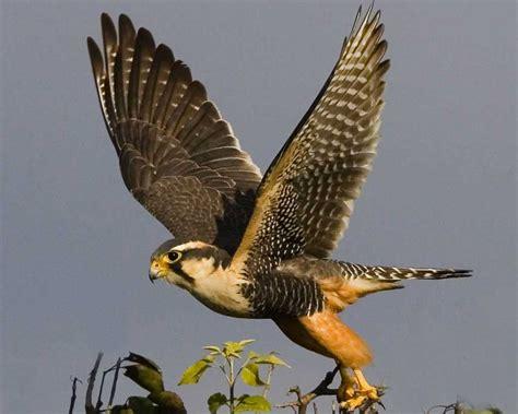 images of a falcon aplomado falcon audubon field guide
