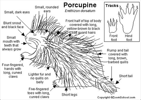 porcupine diagram american porcupine printout enchantedlearning
