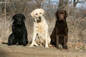 lab colors labrador retriever dogs dogshaadi