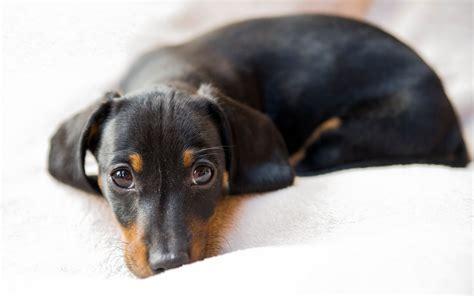wallpaper dachshund dog symbol  germany black hd