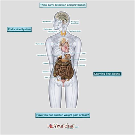 Section 39 1 The Endocrine System by Endocrine System Labeled Bodypartchart Official Site