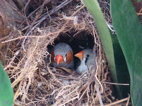 zebra finch housing zebra finch facts as pets care temperament pictures singing wings aviary