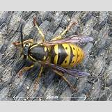Queen Wasp Compared To Normal Wasp | 422 x 336 jpeg 44kB