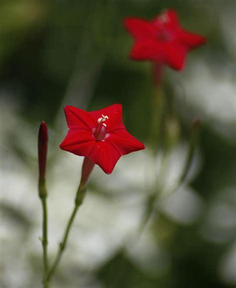 Wallpaper Flower Star   flowers for flower lovers star shaped flowers wallpapers