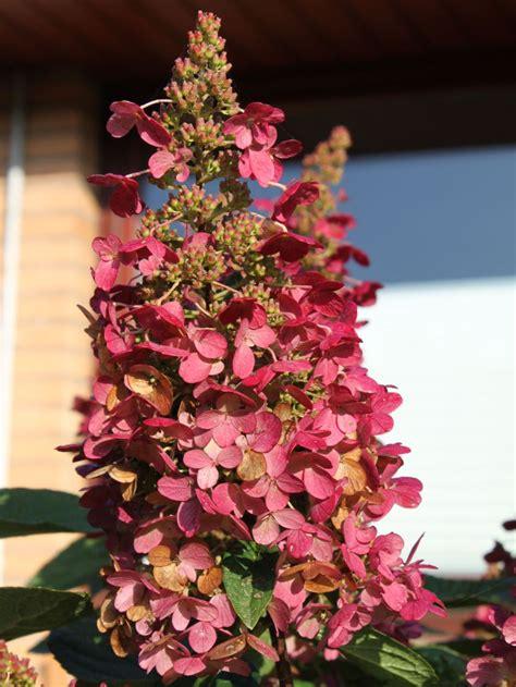 Hortensie Wims by Rispenhortensie Wims 174 Hydrangea Paniculata Wims