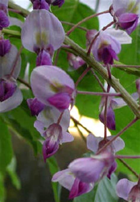 blauwe regen weinig bloemen blauwe regen wisteria klimplant met een regen aan