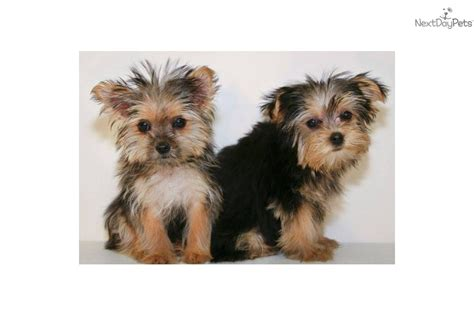 8 lb yorkie terrier yorkie puppy for sale near columbus ohio 8d3101ae ec11