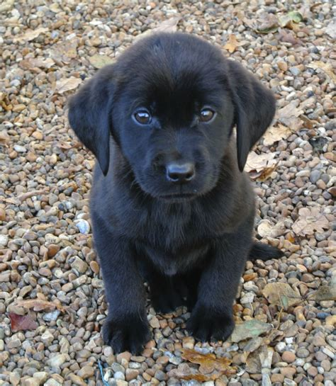 black lab puppies k c reg black labrador puppies ashford kent pets4homes