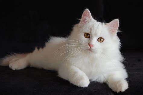 Sho Kucing Dan Harga harga kucing anggora dan 2017 kucing org