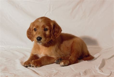 golden retriever setter mix puppies for sale the gallery for gt golden puppies for sale