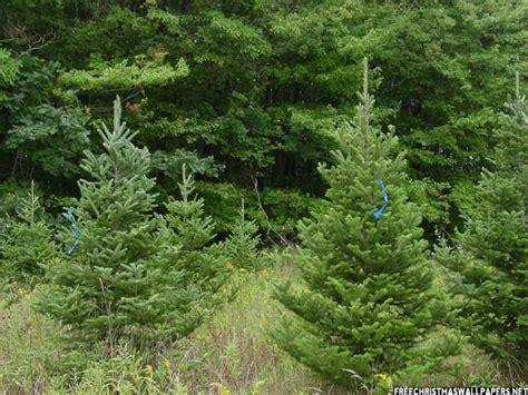 fraser fir christmas tree 800x600 wallpaper
