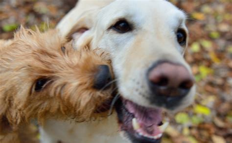 getting puppies help your dogs get along better with each other dogtime