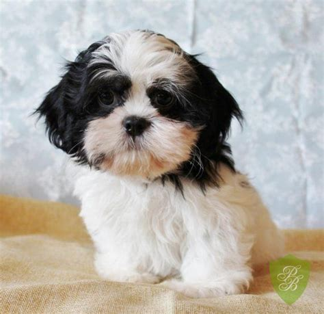 shih tzu puppies for sale in michigan 17 best images about puppies for sale on corgi puppies for sale