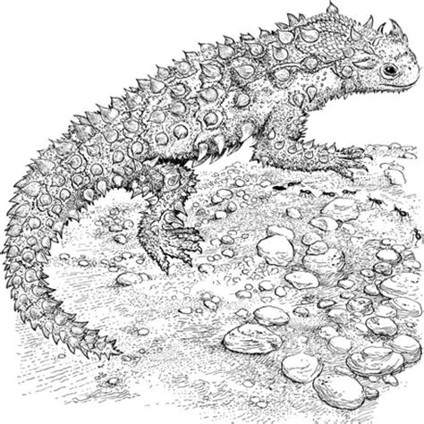 coloring page horned lizard how to draw horned chameleon