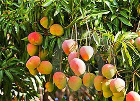 mango tree with fruits wher can i buy fruit trees mango mangifera indica