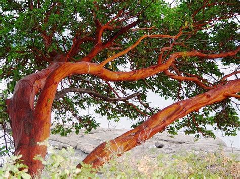 pictures of trees tree free wallpaper arbutus tree