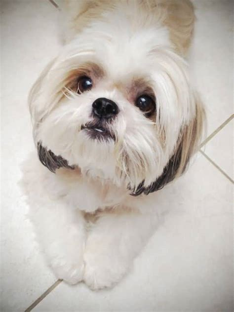 white baby shih tzu cutest white shih tzu looking at owner golfian