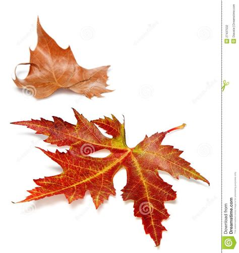 Two Autumn Leaves On A White Background Stock Photography Image 27437532 Fall Leaves On White Background