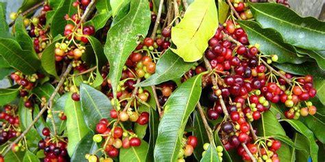 1 Biji Benih Buah Limeberry jual biji benih buah buni salam benih berkah