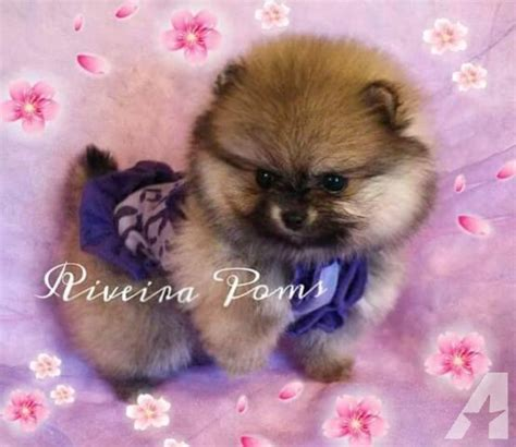cheap teddy puppies for sale teddy pomeranian puppies for sale in california breeds picture