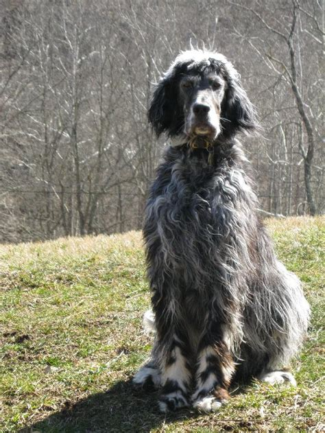 bench setter 5 reasons to choose an english setter infobarrel