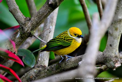 twenty one beautiful birds of panama birdgasm around