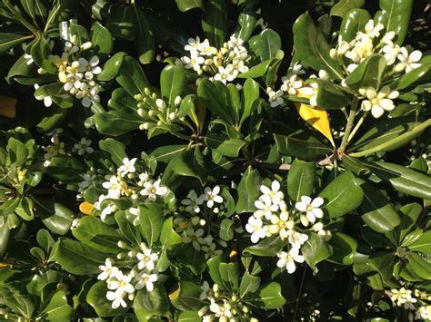 what is this bush with fragrant white flowers snaplant com