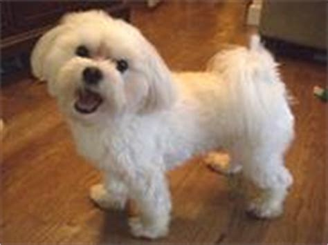Do Maltese Dogs Shed Hair by Top 10 Hypo Allergenic Breeds For Those With Allergies