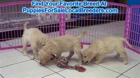 puppies for sale in tupelo ms goldendoodle puppies dogs for sale in jackson mississippi ms 19breeders
