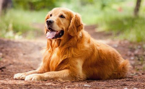 or golden retriever golden retriever all big breeds