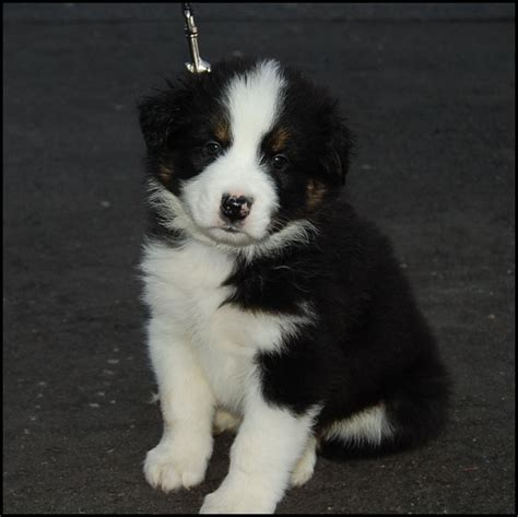 border aussie mix puppies for sale australian shepherd puppies for sale from reputable autos post