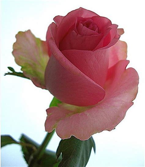 Imagenes De Rosas Maravillosas | rosas maravillosas a gallery on flickr