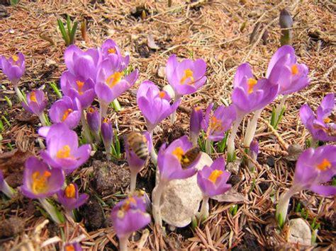 fiori crocus crocus