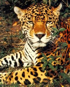 Jaguars Con 72 Beautiful Jaguar Pictures Beautiful Jaguar Pictures P2