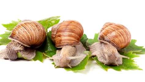 snails  slugs disappear  homeopathy homeopathy