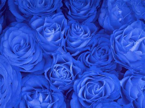 free wallpaper blue roses rose wallpaper blue rose hd wallpaper free download