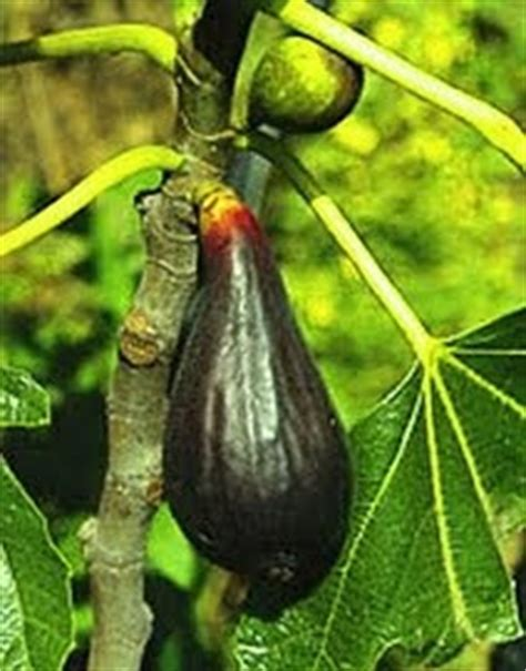 Harga Bibit Tin Israel abicou pohon buah tin