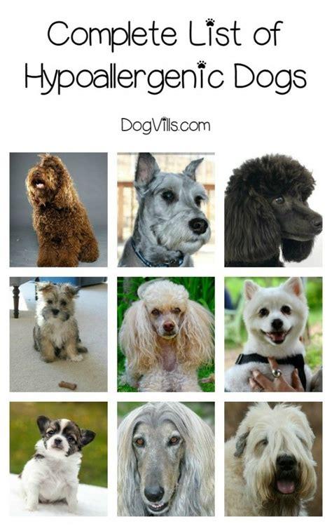 complete list  hypoallergenic dog breeds dogs animal