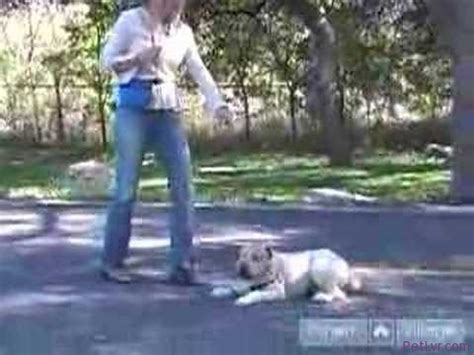 how to teach your to lay wheaten terriers how to teach your obedience tips tricks how to