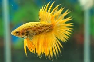 All about betta fish: Yellow gas Crowntail bettafish