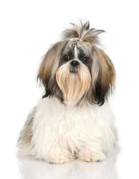 remove tangles  shih tzu hair pets