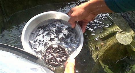 Bibit Gurame 2 Ons bibit ikan gurame murah budidaya ikan air tawar