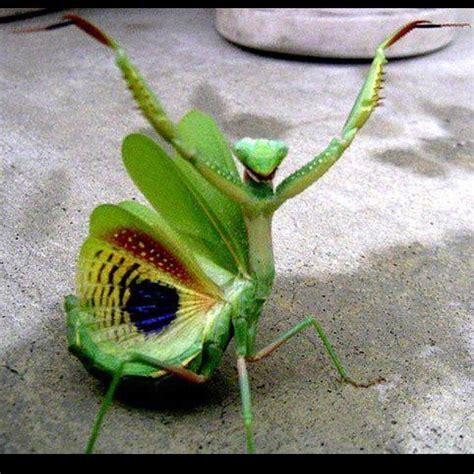 praying mantis tattoo designs tattoo collection