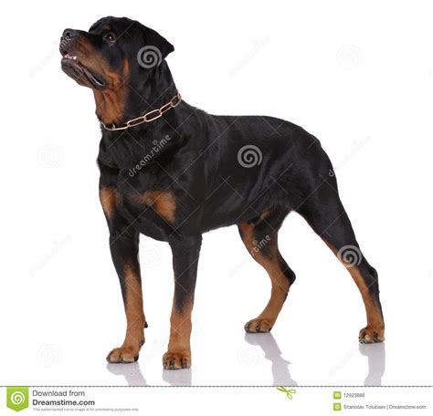 rottweiler images free rottweiler royalty free stock photos image 12923888